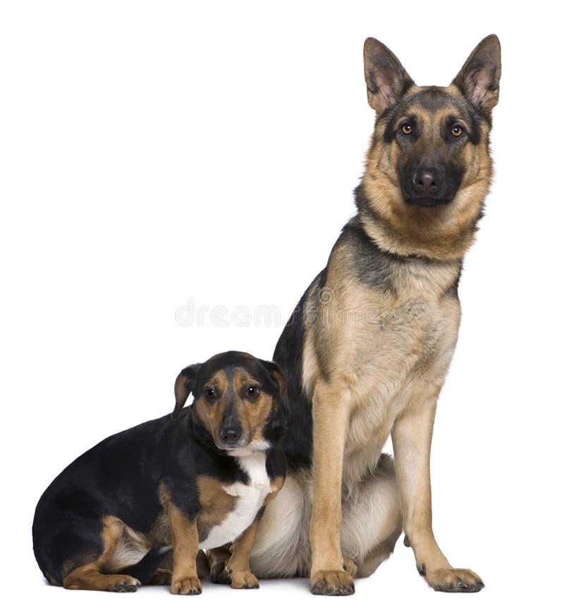 De Duitse herder en Jack Russell mengden zich met Teckel stock afbeelding
