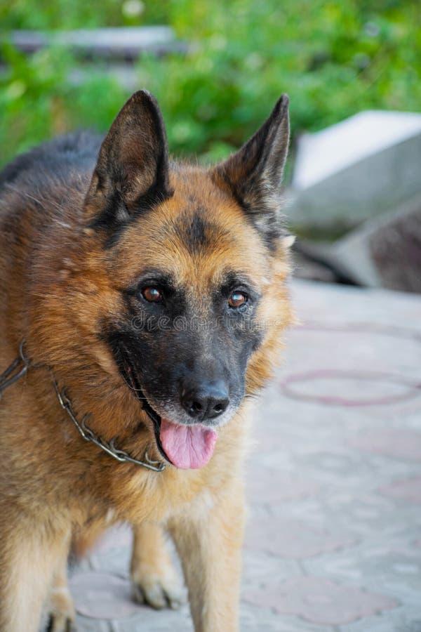 De Duitse herder van het hondras op aard De hond die mensen zoekt royalty-vrije stock foto's