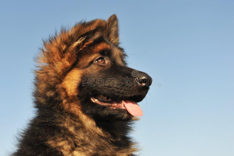 De Duitse herder van het puppy royalty-vrije stock foto