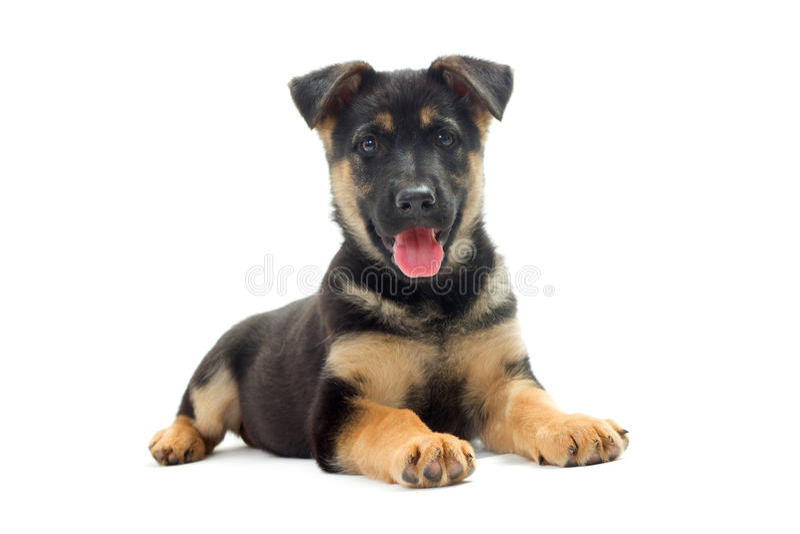 De Duitse herder van het puppy stock afbeelding