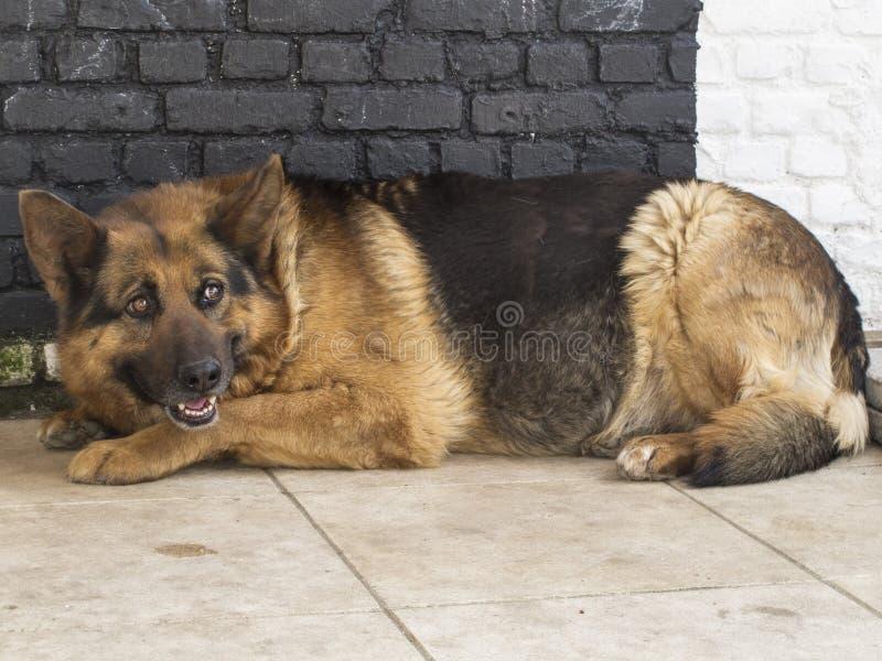 De Duitse herderhond ligt op een concrete vloer royalty-vrije stock foto