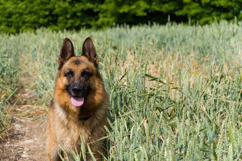 De Duitse herderhond op de gang royalty-vrije stock afbeelding