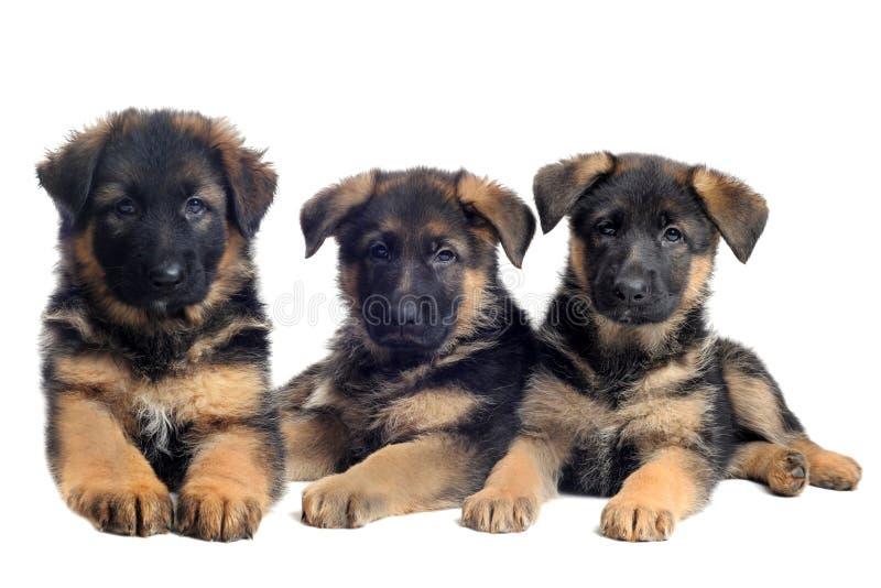 De Duitse herders van puppy royalty-vrije stock afbeeldingen