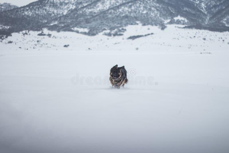 De duitse herdershond in een sneeuwgebied omringd door hoge rotsbergen royalty-vrije stock foto's