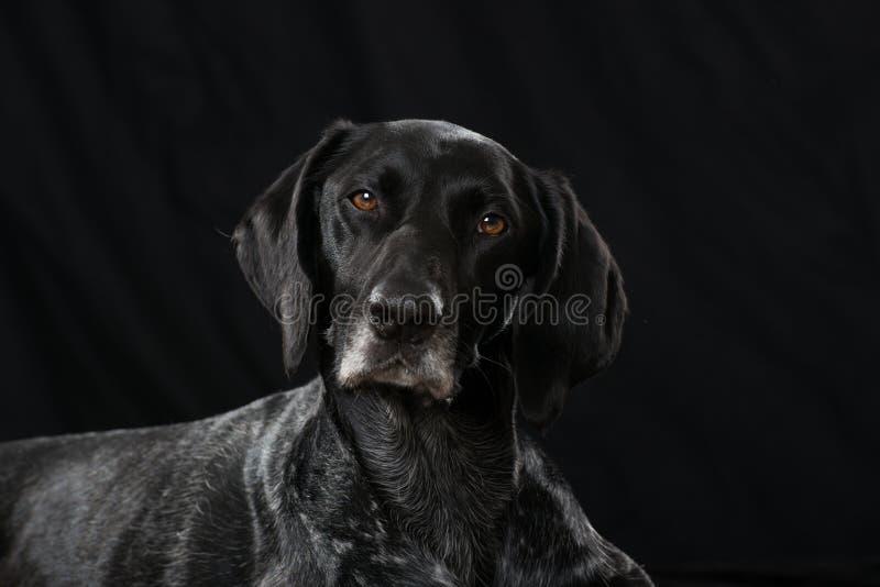 De Duitse Korte Hond van het Haar stock afbeelding