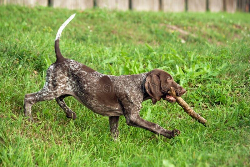 De Duitse kortharige wijzer, kurtshaar bruin bevlekt puppy gaat onderaan de heuvel met een stok royalty-vrije stock afbeelding