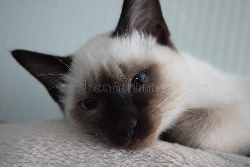 De duivel, het katje van een Thaise kat stock afbeeldingen