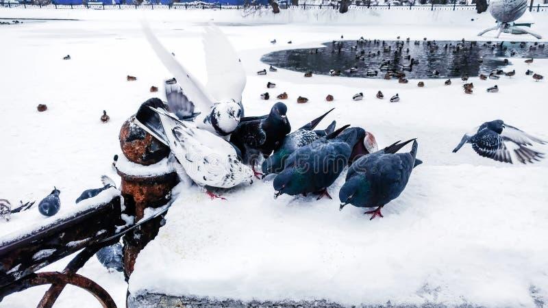 De duiven eten korrel op een omheining dichtbij een snow-covered meer waar de eenden zwemmen royalty-vrije stock afbeeldingen