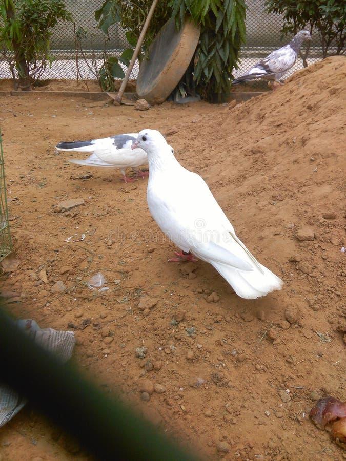 De duiven spelen op open gebied royalty-vrije stock foto's