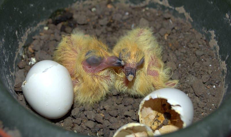 De duiven van de baby royalty-vrije stock fotografie