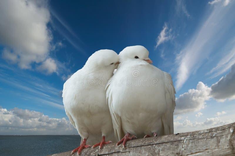 De duiven van Wihte in liefde royalty-vrije stock foto