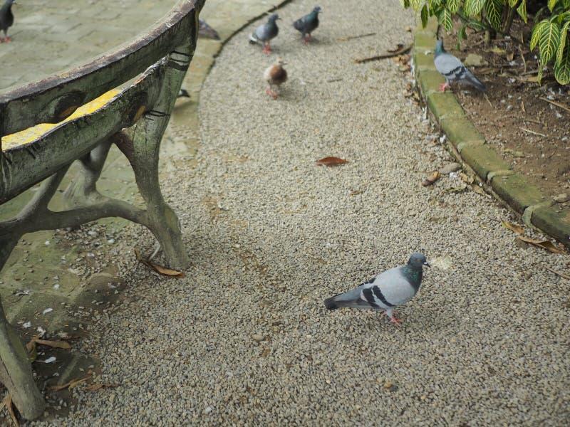 de duiven zijn gang langs de manieren royalty-vrije stock foto