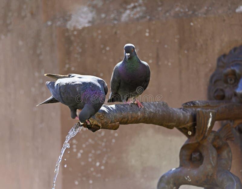 De duiven zitten op de waterautomaat van een fontein stock afbeeldingen