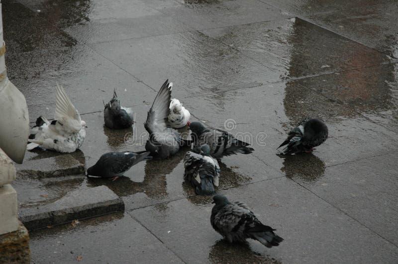 De duiven zwemmen in de vulklei stock afbeelding