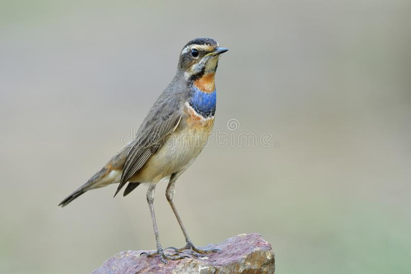 De dunne mannetje van Bluethroat Luscinia svecica mooie bruine vogel met blauwe en oranje veren op zijn borst om trots te klagen royalty-vrije stock afbeelding