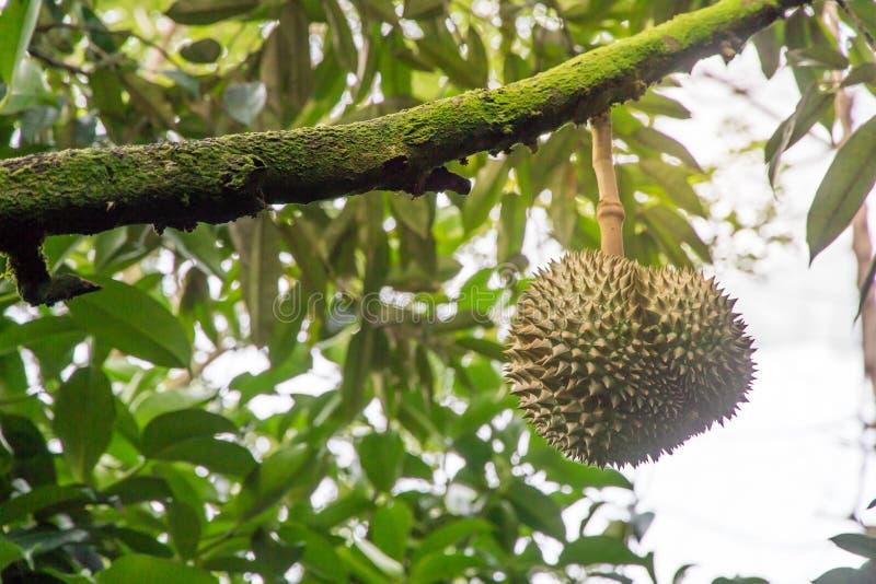 De Durianboom, Vers durian fruit op boom, de Leren riem van Durians Mon is royalty-vrije stock afbeelding