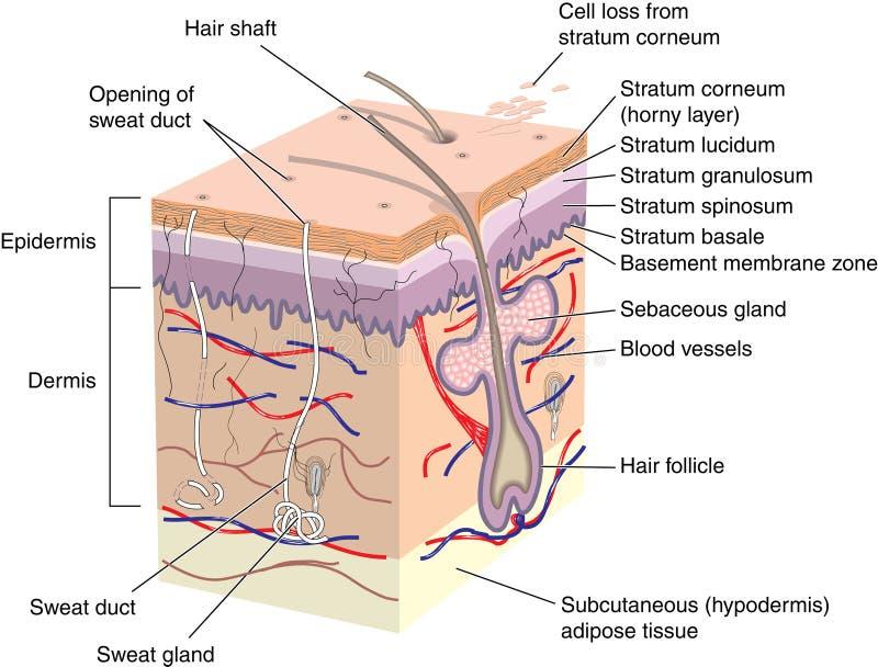 De dwarsdoorsnede van de huid vector illustratie