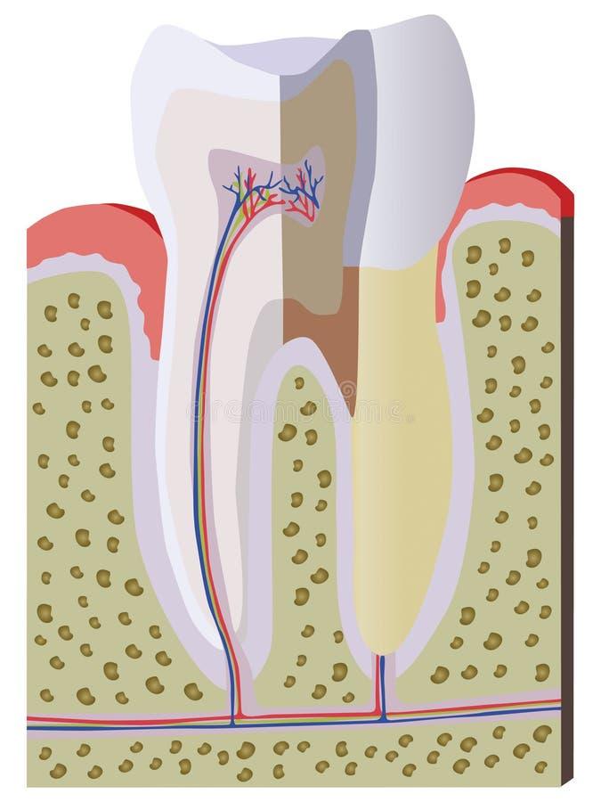 De dwarsdoorsnede van de tand vector illustratie