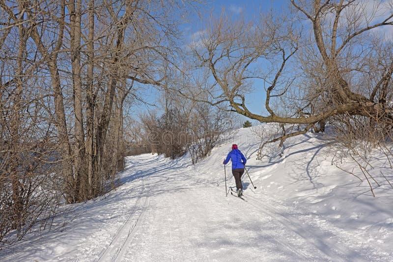De dwarsskiër die van het land op Sjam-sleep langs naakte bomen in de sneeuw op een zonnige de winterdag ski?en met blauwe hemel royalty-vrije stock foto's