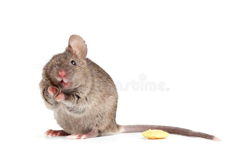 De dwaze muis isolted op wit stock afbeeldingen