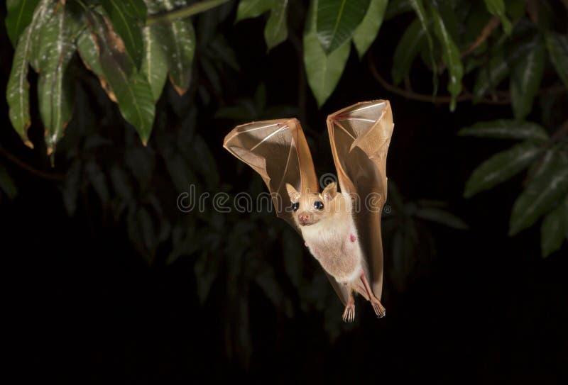 De dwerg epauletted fruitknuppel die (Micropteropus-pussilus) bij nacht vliegen royalty-vrije stock foto's