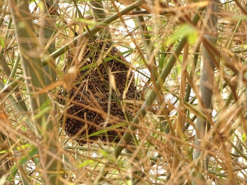 De dwerghoningbij maakt kleine kammen in de takken van bamboebomen stock foto's