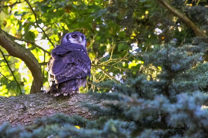 De eagle-uil van Verreaux ook als de melkachtige adelaarsuil of reuzeadelaarsuil wordt bekend - Warwick, het UK dat royalty-vrije stock foto