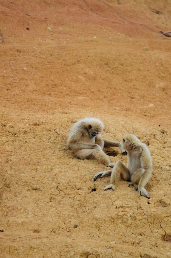 De echtgenoot en de vrouw van apen zijn zo zoet royalty-vrije stock foto's