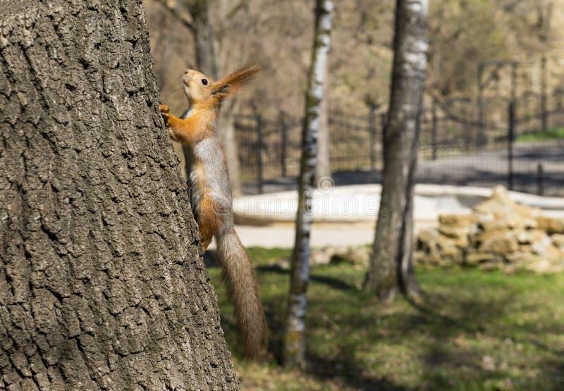 De eekhoorn beklimt op de boomboomstam royalty-vrije stock foto