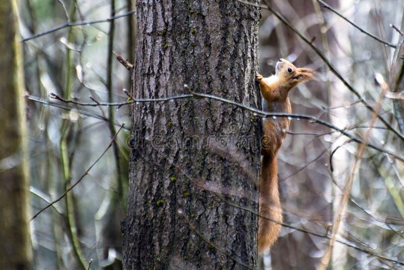 De eekhoorn beklimt op de boomstam van dikke esp stock afbeeldingen