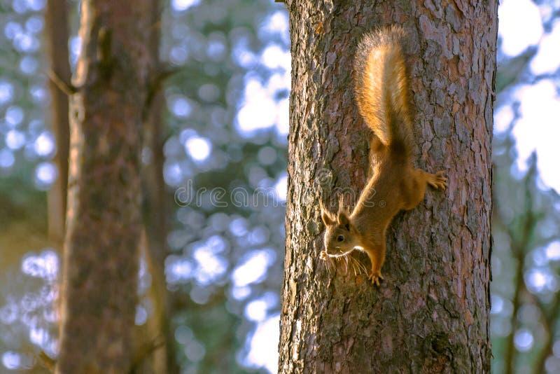 De eekhoorn daalt onderaan de boomstam van een pijnboomboom royalty-vrije stock foto