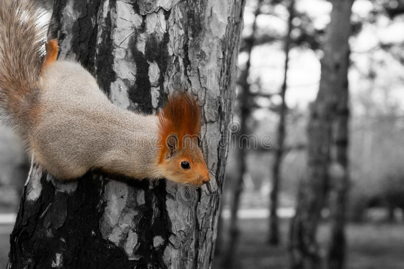 De eekhoorn in de donkere toon royalty-vrije stock foto's