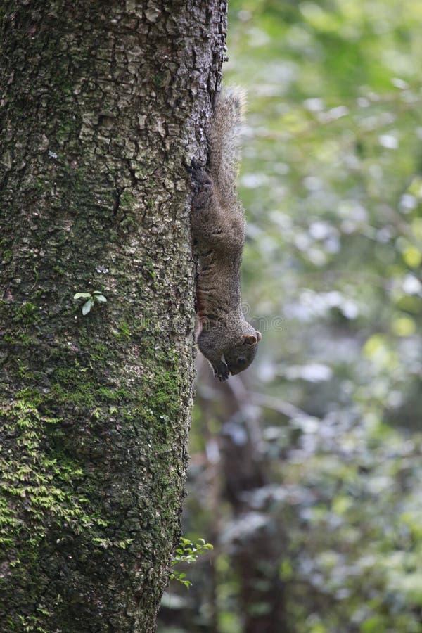 de eekhoorn is een familie van het zoogdierknaagdier royalty-vrije stock afbeelding