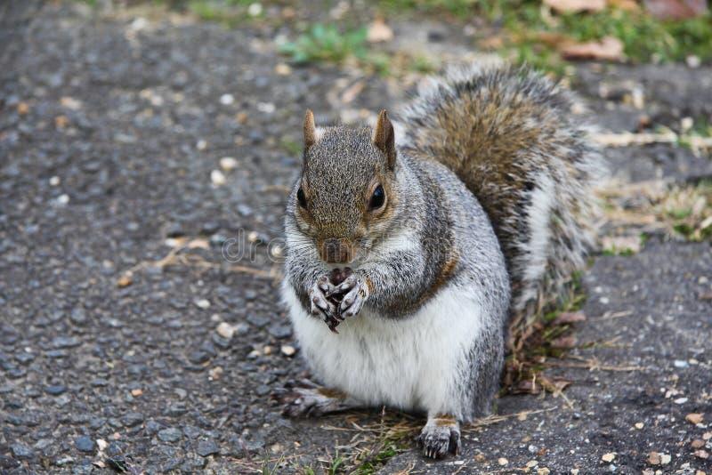 De eekhoorn eet een noot stock fotografie