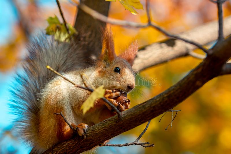 De eekhoorn eet een okkernoot op een boomtak stock foto's