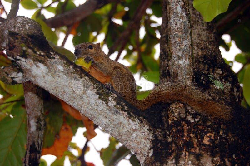 De eekhoorn eet mango stock foto's
