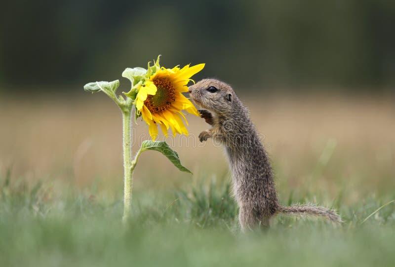De eekhoorn en de zonnebloem van de grond stock foto's