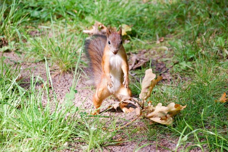 De eekhoorn in haastig stelt is op twee benen royalty-vrije stock foto