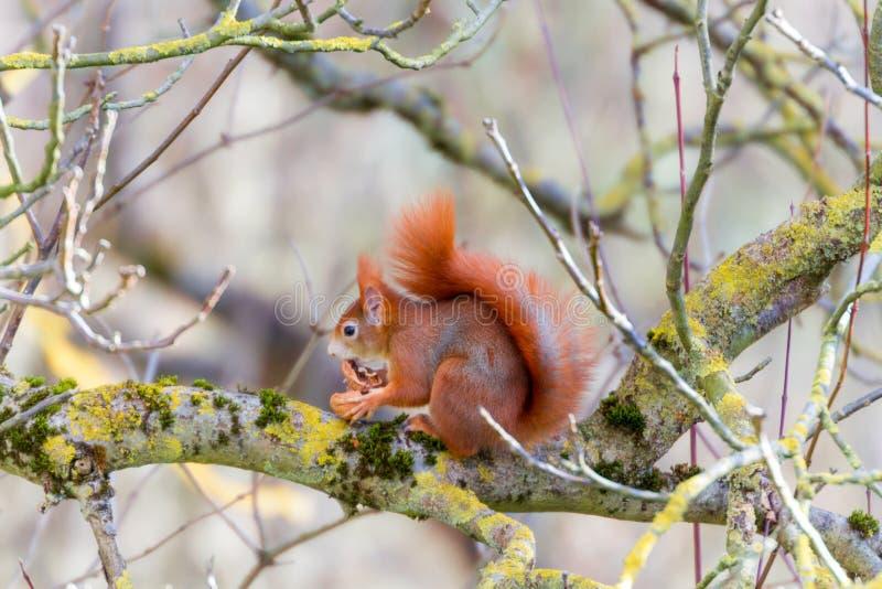 De eekhoorn houdt van zijn okkernoot royalty-vrije stock afbeeldingen