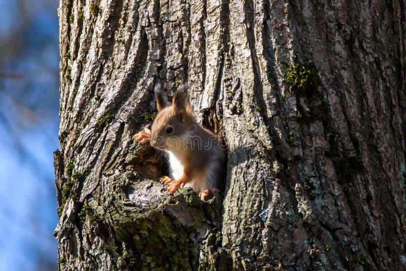 De eekhoorn kijkt uit de boomholte stock foto
