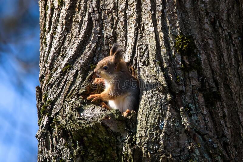 De eekhoorn kijkt uit de boomholte royalty-vrije stock afbeelding
