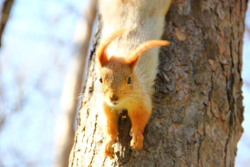 de eekhoorn kijkt van een boom royalty-vrije stock foto's
