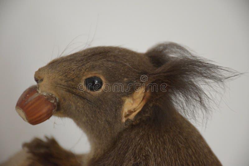 De eekhoorn met de okkernoot stock foto's