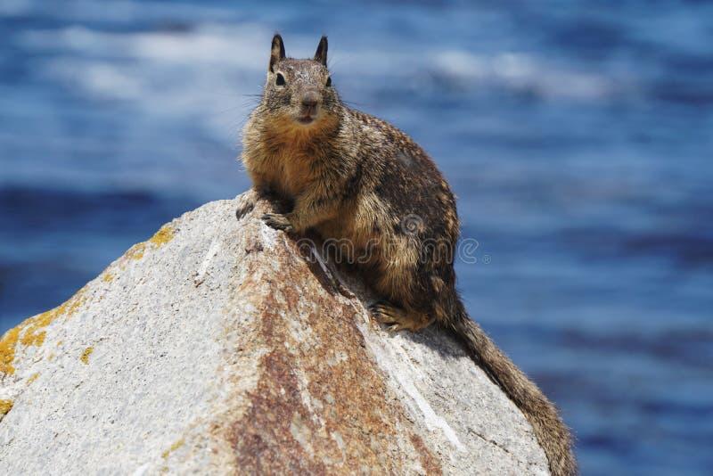 De eekhoorn van de grond stock afbeelding