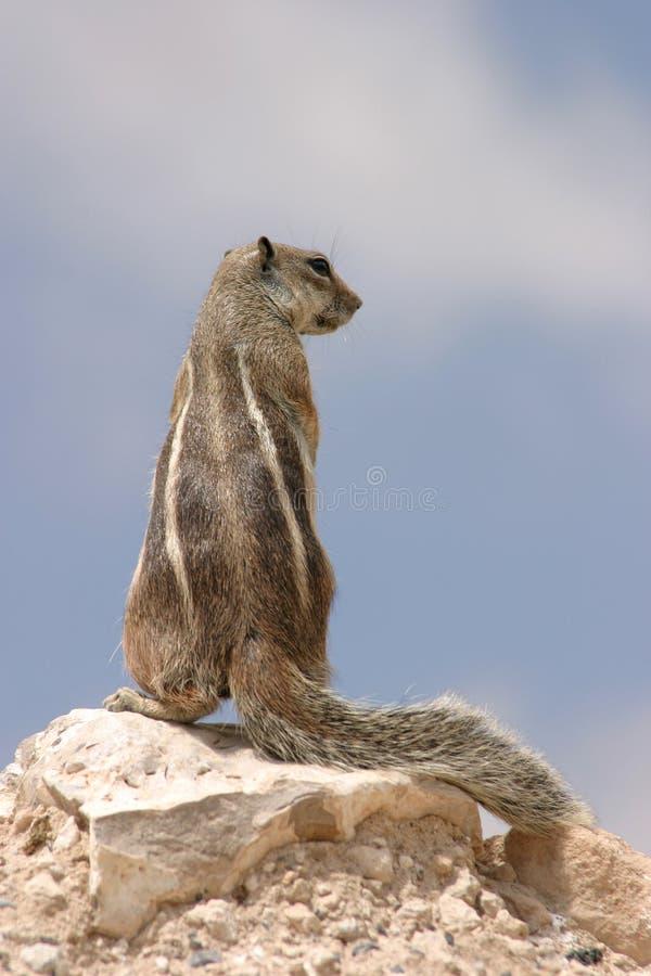 De Eekhoorn van de rots royalty-vrije stock foto's