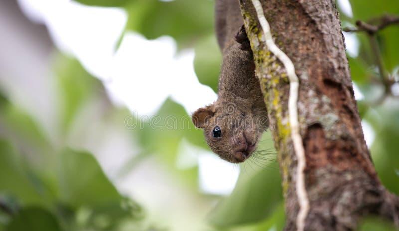 De eekhoorn van Pallas of rood-Doen zwellen eekhoorn stock foto's