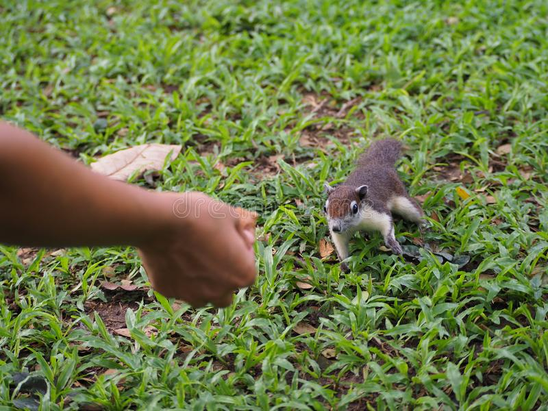 De eekhoorn ziet een voedsel en komst voor het voeden royalty-vrije stock afbeeldingen