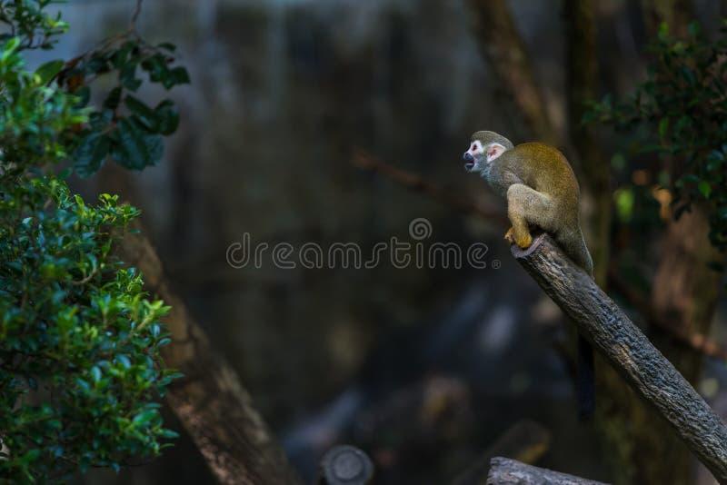 De eekhoornapen zijn Nieuwe Wereldapen van de soort Saimiri stock fotografie