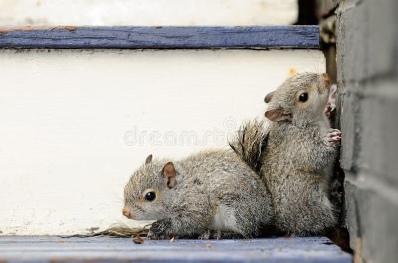 De Eekhoorns van de baby stock foto