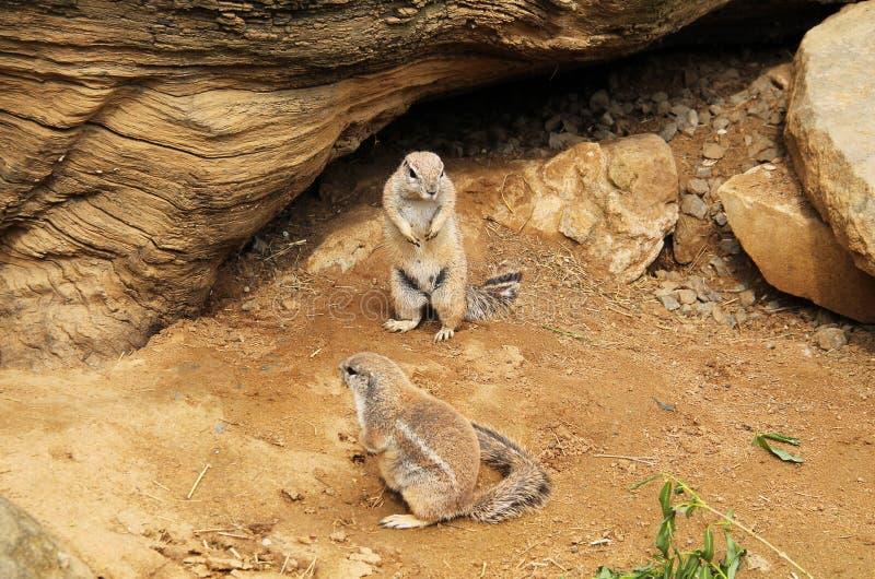 De eekhoorns van de kaapgrond royalty-vrije stock foto